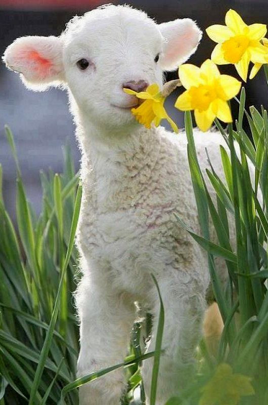 Easter Lamb Pictures  Spring Lamb please think about taking food animals off