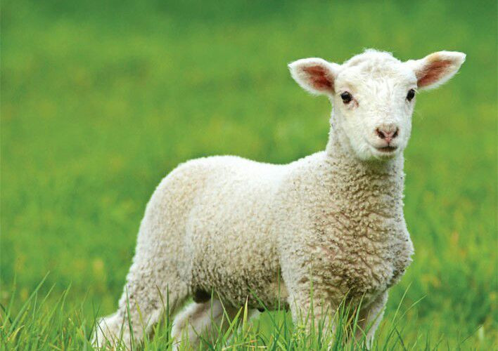 Easter Lamb Pictures  Top 5 most Easter Spring Animals