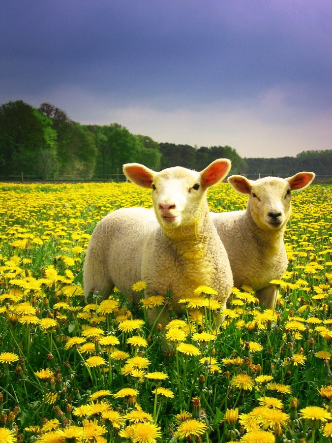 Easter Lamb Pictures  Easter Lambs stock image Image of outdoors meadow