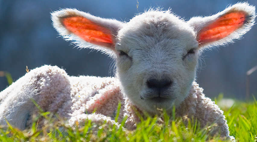 Easter Lamb Pictures  Italy Happy Easter for the lambs