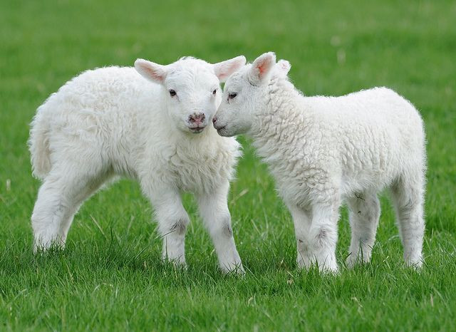 Easter Lamb Pictures  1000 images about Lamb quilts on Pinterest
