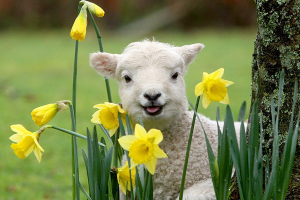 Easter Lamb Pictures  Happy Easter