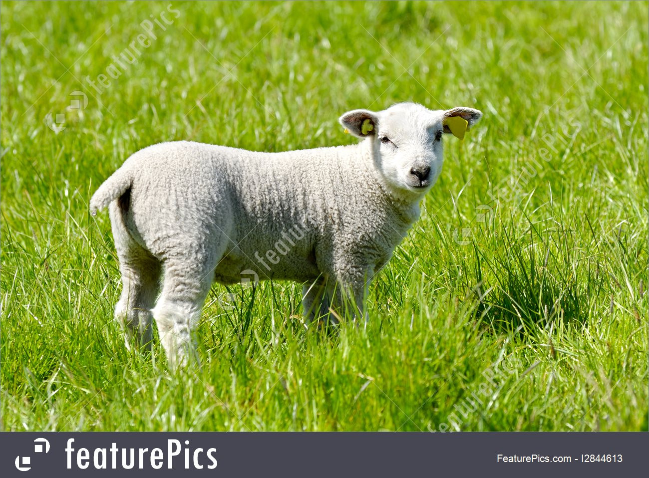 Easter Lamb Pictures  Picture Easter Lamb