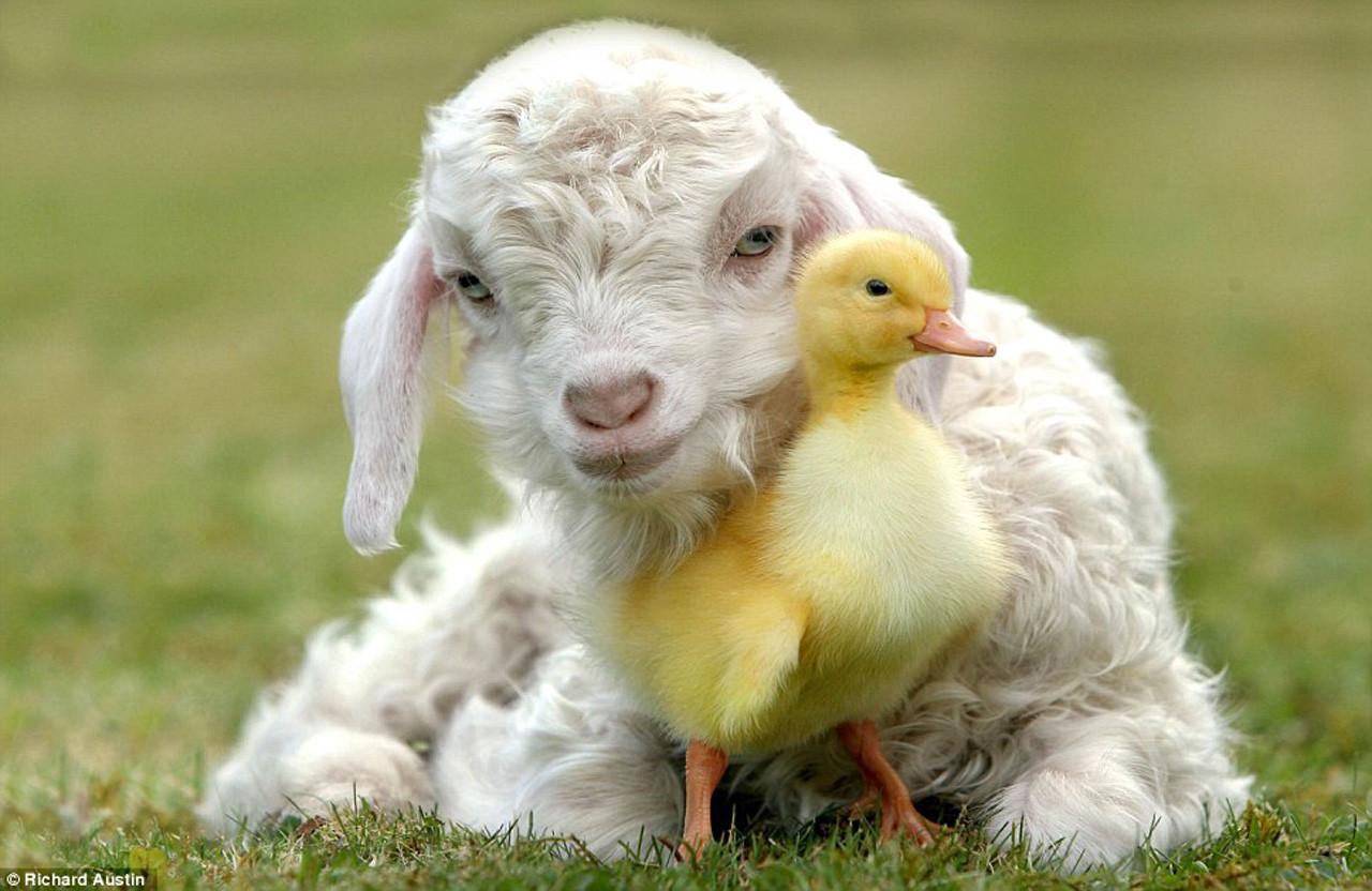 Lamb For Easter  Easter Lamb Wallpaper WallpaperSafari