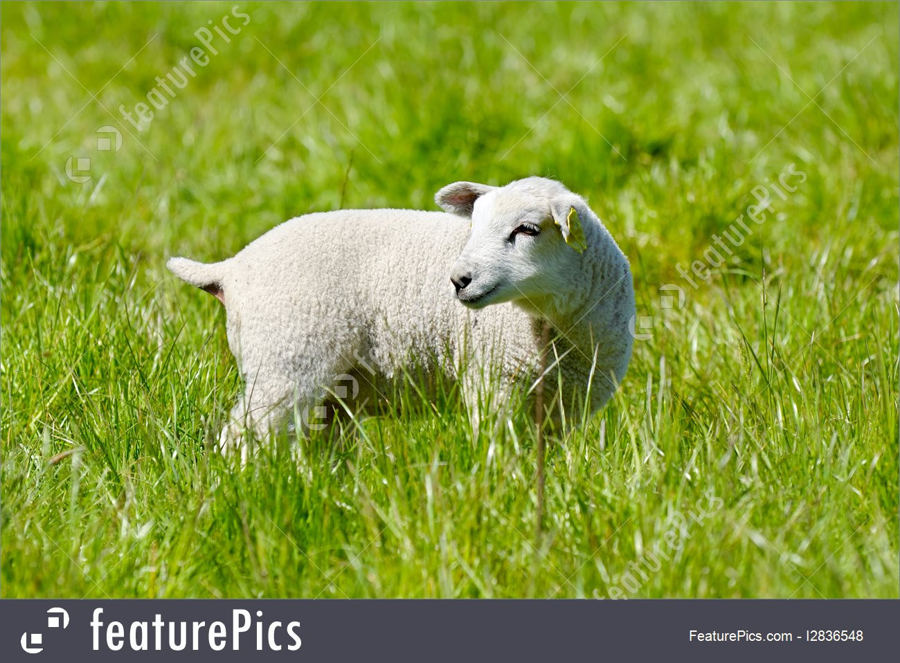 Lamb For Easter  Easter Lamb Picture
