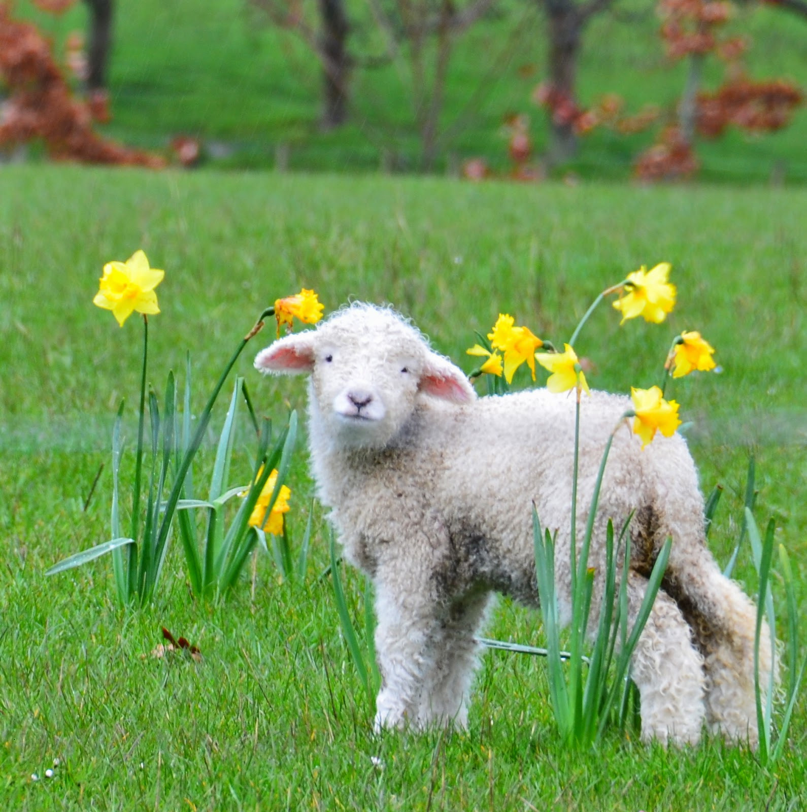 Lamb For Easter  The Polohouse Blessed Easter Greetings