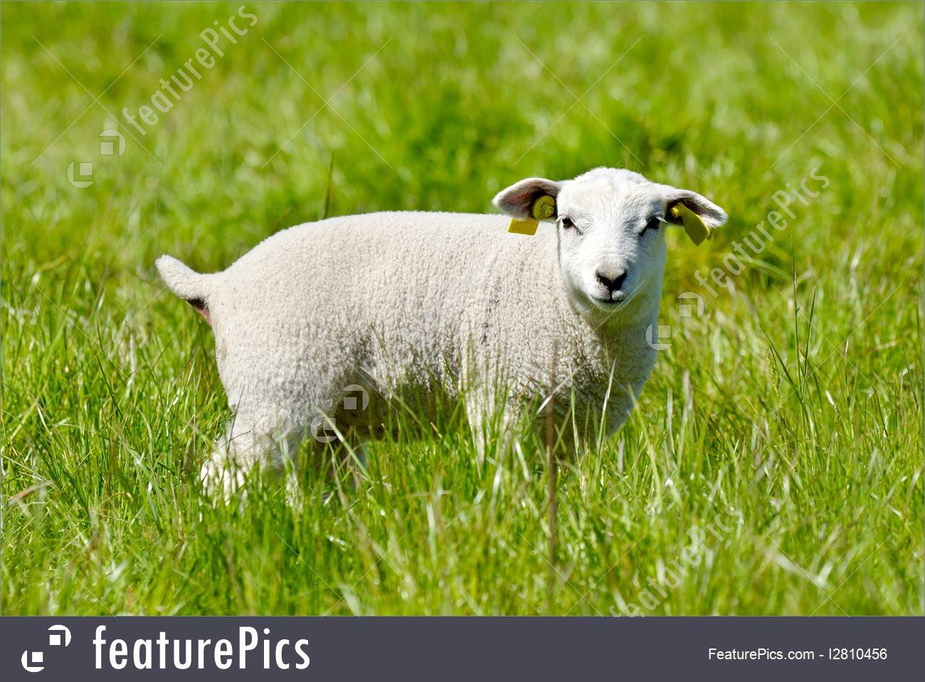 Lamb For Easter  Easter Lamb