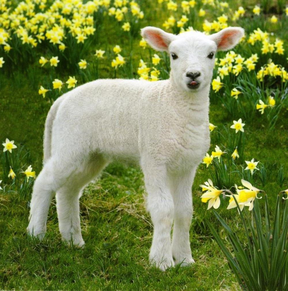 Lamb For Easter  Easter Spring Lamb graphic Greeting Card