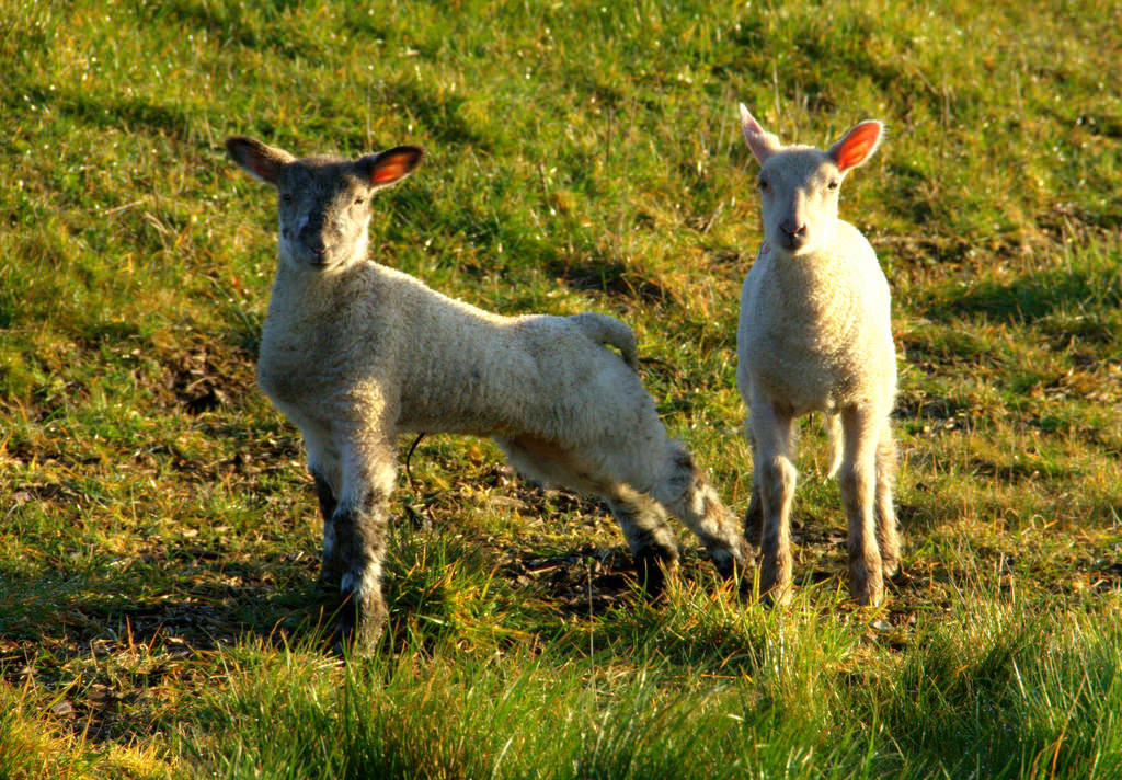 Lamb For Easter  The World s Best s of easter and lambs Flickr Hive Mind