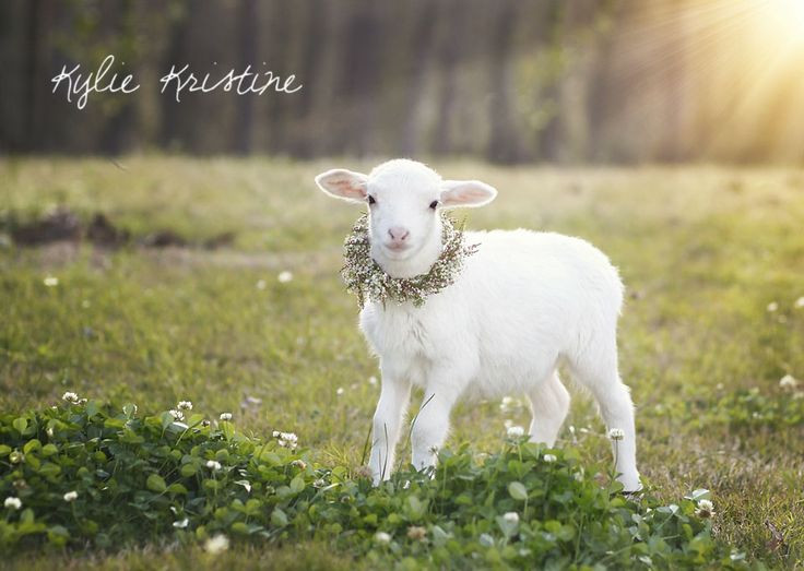 Lamb For Easter  easter lamb photography 1st birthday ideas