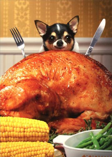 Biggest Thanksgiving Turkey  Little Dog Behind Big Turkey Funny Chihuahua Thanksgiving