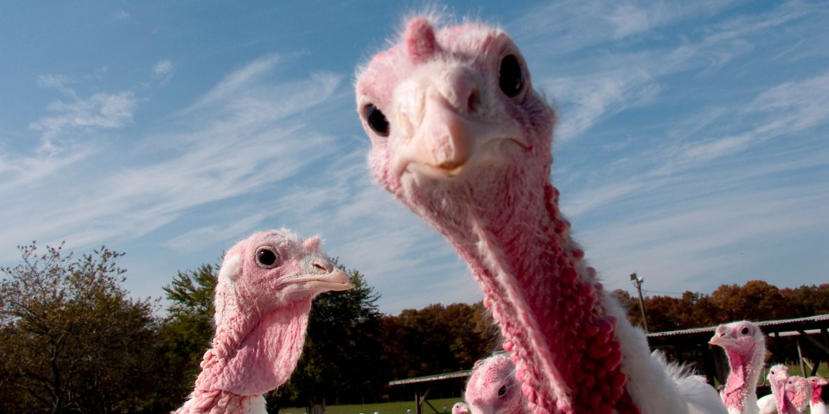 Biggest Thanksgiving Turkey  First Thanksgiving feast is a tale of globalization