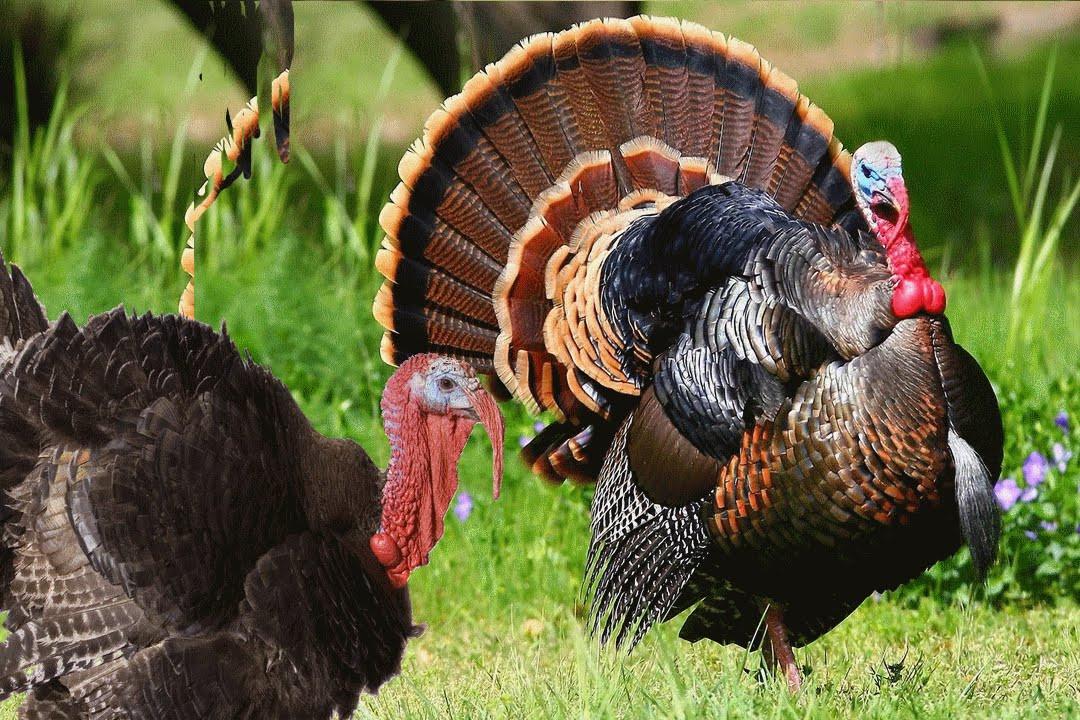 Turkey Picture For Thanksgiving  Turkey Bird sound effects