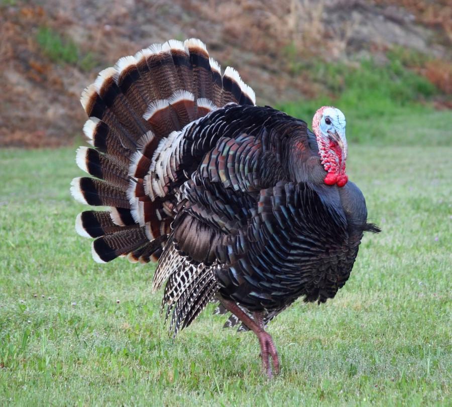 Turkey Picture For Thanksgiving  Turkey Jack s BBQ