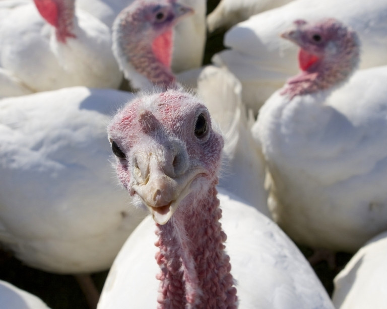 Why Do We Eat Turkey On Thanksgiving  Why Do We Eat Turkey on Thanksgiving